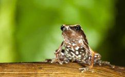 Yeni bir kurbağa türü keşfedildi